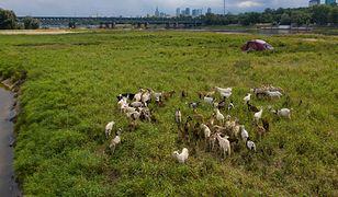 Stado kóz na wysepce przy warszawskim moście Gdańskim