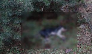 Martwy pies leżał kilkanaście dni na łące