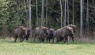 W Nadleśnictwie Borki wydano trzy decyzje o odstrzale w ramach polowania komercyjnego