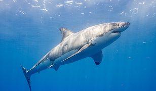 Rekin zaatakował surfera u wybrzeży Australii