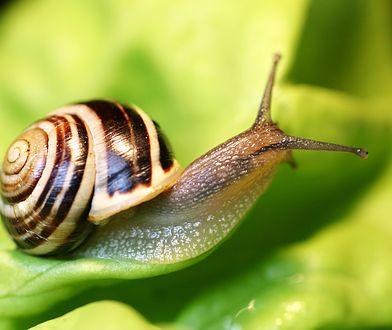 Jak pozbyć się ślimaków z ogrodu? Niszczą rośliny i wywołują choroby