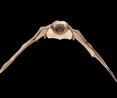 Nowy gatunek potwierdzony w Polsce. Nietoperza po raz pierwszy odkryto pięć lat temu