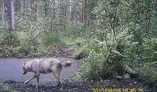 Pierwszy od pół wieku wilk w Kampinoskim Parku Narodowym. Mamy nagranie [WIDEO]