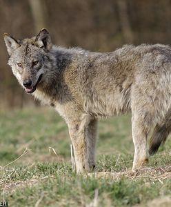 W Bieszczadach zastrzelą wilka. Wchodził do wsi za dnia, ruszyło polowanie