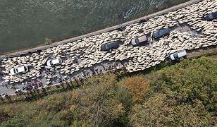 W Szczawnicy ok. 1000 owiec przeszło ulicami miasta