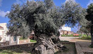 Oliwa mieści się w obrębie miejscowości Vouves