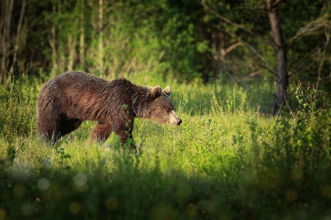 Niedźwiedzi w Niżnych Tatrach jest coraz więcej