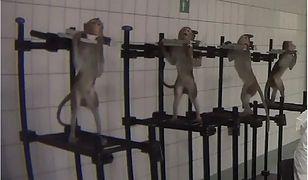 Śledztwo przeciwko niemieckiemu laboratorium, które przeprowadzało doświadczenia na zwierzętach