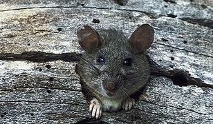 Poczekają na wyniki egzaminów - szczury zjadły arkusze