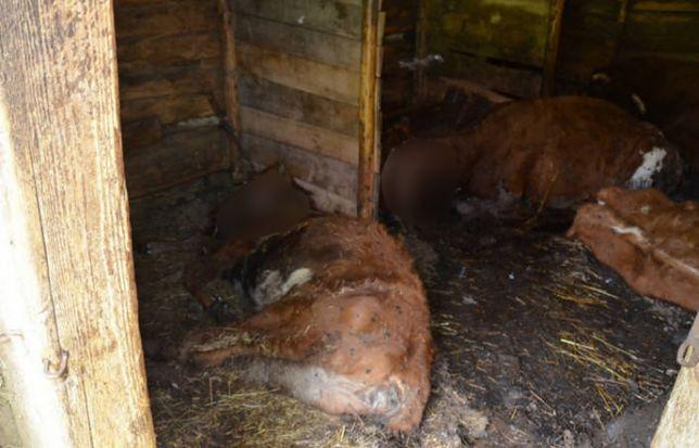 Olszówka. 46-latek zagłodził sześć krów, trzy owce i jagnię