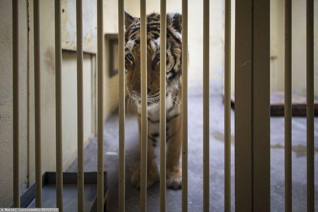 Tygrysy w poznańskim zoo. Jest pierwszy milion ze zbiórki