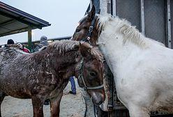 Aktywiści szykują się na wykup koni