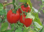 Pomidory nawet dwa razy droższe