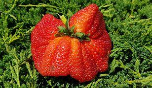 Gigantyczna truskawka większa niż duże jabłko. Konkurs na najdorodniejszy przysmak lata rozstrzygnięty