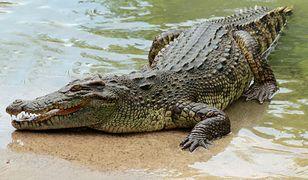 Indie. Po wiosce spacerował krokodyl. W sieci krąży wideo
