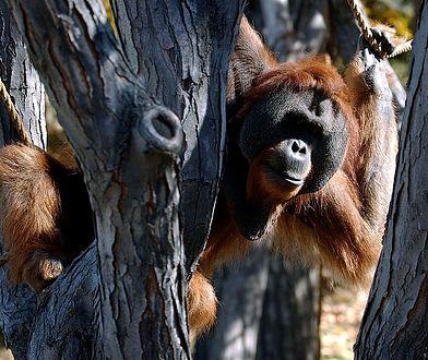 USA. Orangutan w zoo zaopiekował się córką po śmierci matki