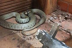 Półtorametrowy wąż na tarasie. Nietypowa akcja strażaków na Kaszubach