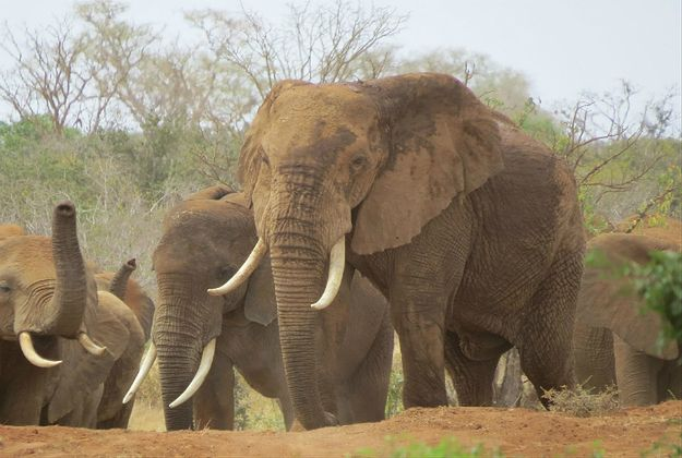 Karma wraca! Kłusownik słoni został stratowany przez zwierzęta