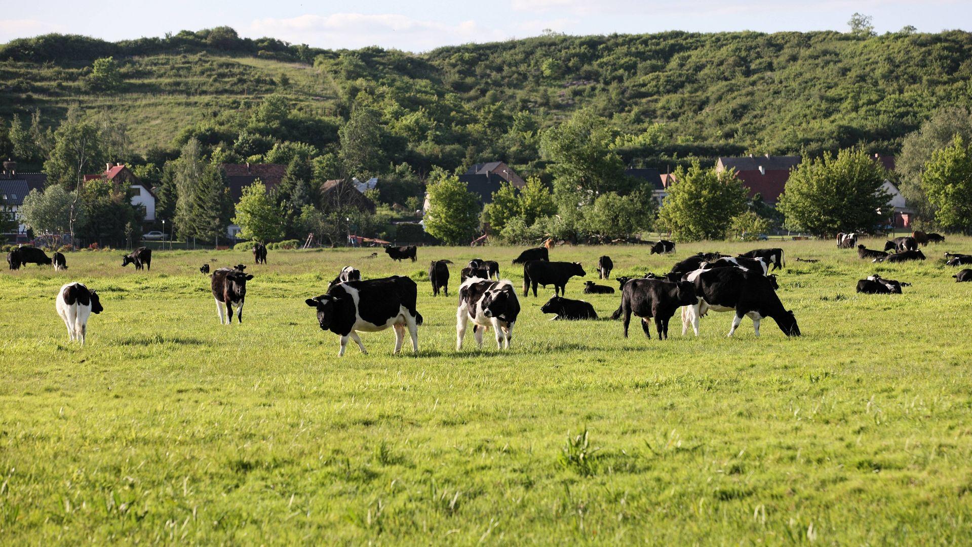 Stado bezpańskich krów z Deszczna