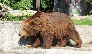 Niedźwiedzice przeniesione do środka zoo. Budzą się po narkozie