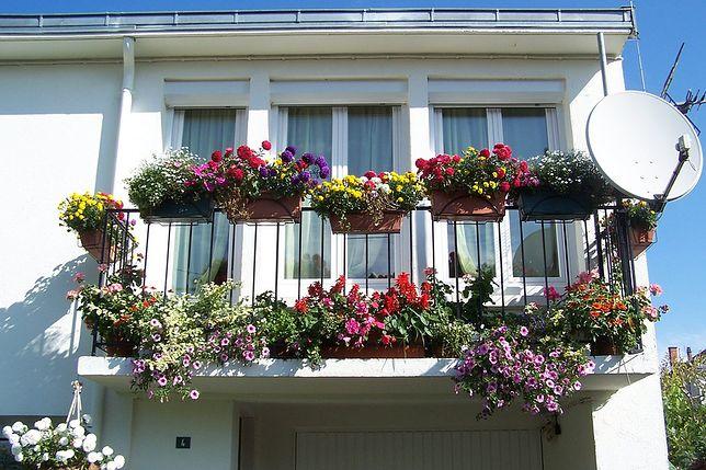 4 proste triki. Jak dbać o kwiaty balkonowe