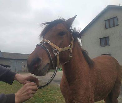 Jeden ze złapanych koni, który biegał po drodze ekspresowej