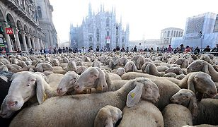 Setki owiec w centrum miasta