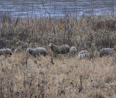 Wypasem owiec i kóz zajmuje się ich właściciel.