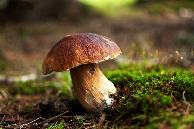 Za kilka miesięcy będziesz mógł zebrać pierwszy zbiór własnych grzybów