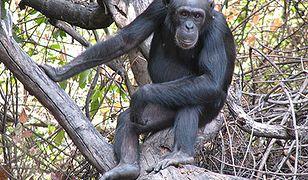 Dzida bojowa dla szympansa