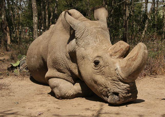 """Nie żyje ostatni biały nosorożec północny, ale jest szansa na przetrwanie gatunku. """"Był delikatnym olbrzymem"""""""