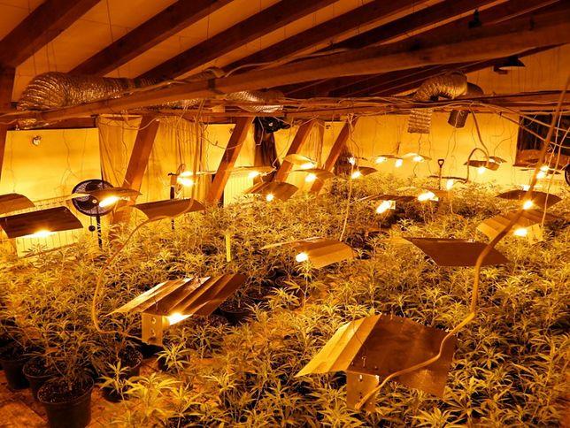 Mazowieckie. Plantacja marihuany w powiecie otwockim