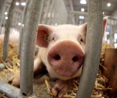Gdy nasi hodowcy tłumaczą się z mniejszych afer, cwaniacy z Belgii sprzedali nam tony skażonej wieprzowiny z Barbadosu.
