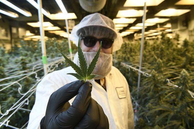 Plantacja marihuany w Denver (Kolorado, USA).