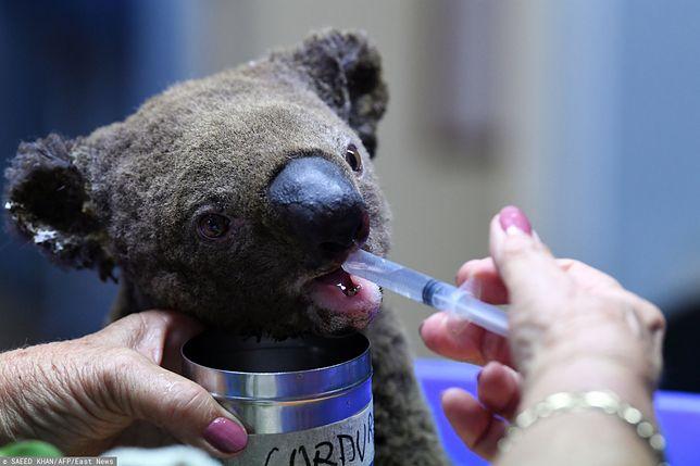 Australia: Koala to już wymarły gatunek? Eksperci komentują