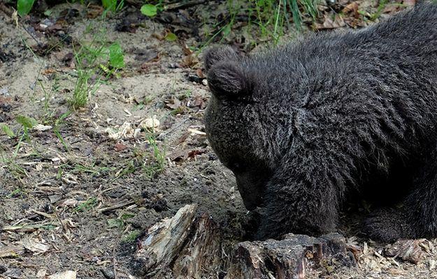 """Pracownicy zoo w Poznaniu zadzwonili na policję. """"Niedźwiedzica wykopała coś podejrzanego"""""""
