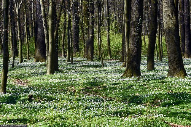 Co z prywatyzacją lasów? Nieoczkiwany zwrot ws. kontrowersyjnej ustawy