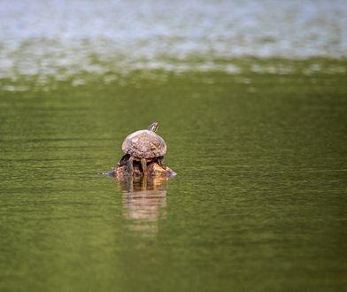 W Wigierskim Parku Narodowym grasuję drapieżny żółw z Kalifornii
