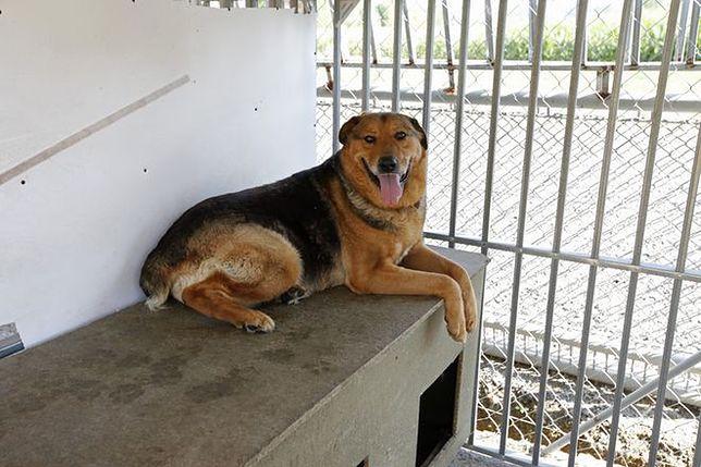 Kuryło przywiązał psa do bramy schroniska. I biegnie w intencji porzucających zwierzęta