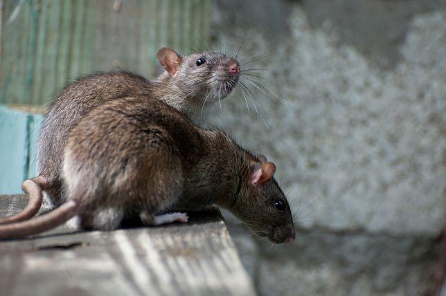 Szczury są gotowe na koniec świata