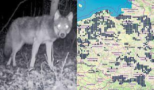 Gdzie w Polsce są wilki? Dokładna mapa polskich naukowców