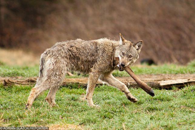 Udokumentowano 149 ataków wilków na zwierzęta gospodarskie