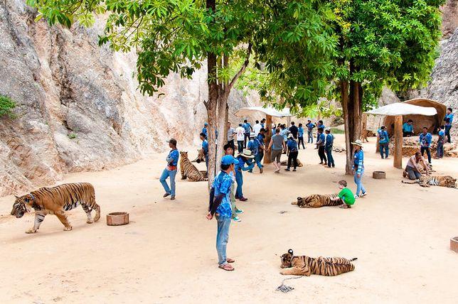 Tiger Temple w Kanchanaburi, Tajlandia