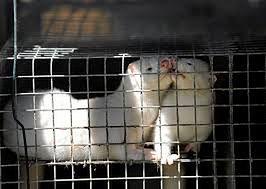 Zakaz hodowli zwierząt futerkowych. PiS dąży do zmiany przepisów