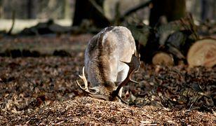 Śląskie. Efekt śmieci w lesie. Zwierzę w potrzasku omal nie zginęło