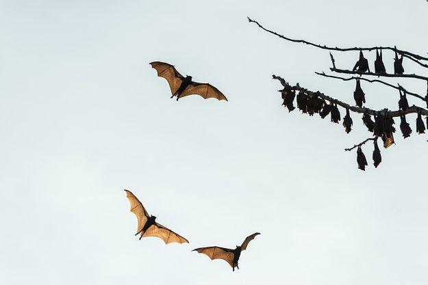"""Rudawki szarogłowe, zwane """"latającymi lisami"""""""