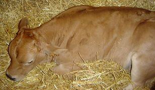 Choroba dotyka głównie bydło i owce.