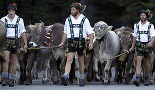 Spędzanie bydła z gór