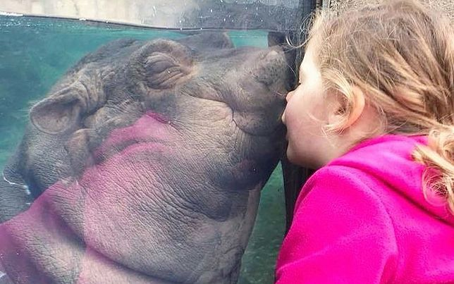 """Hipopotamica Fiona znów """"wygrała internety"""". To zwierzę jest skazane na sukces"""