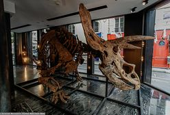 Sprzedadzą szkielet dinozaura. Szacowana cena zwala z nóg